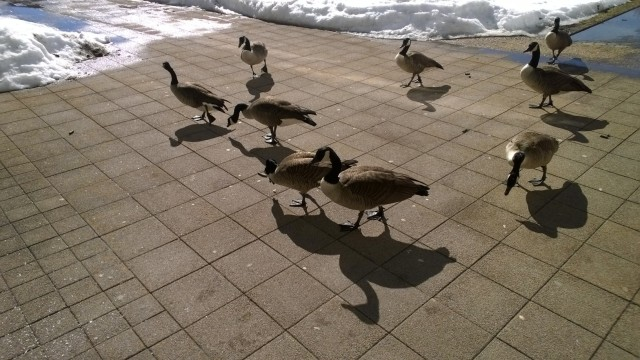 The omnipresent geese look deceptively unaggressive as they hunt for food.